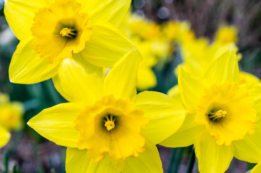 No daffodils for Easter? Experts fear hot weather will cause severe shortage