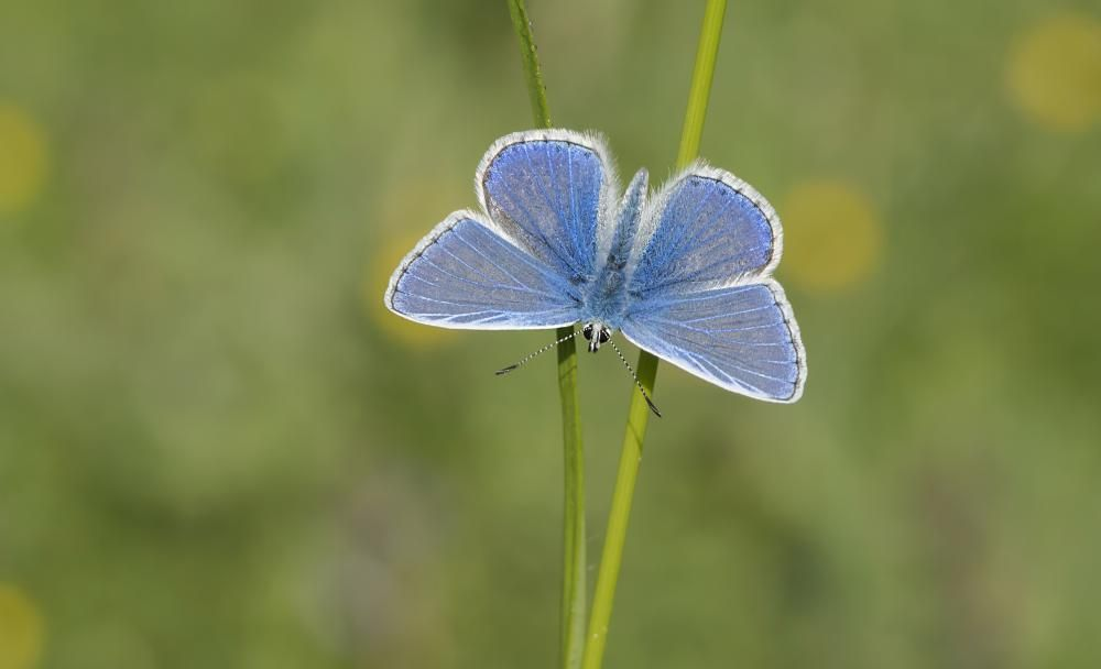 Blue Butterfly Boom in Summer Heatwave