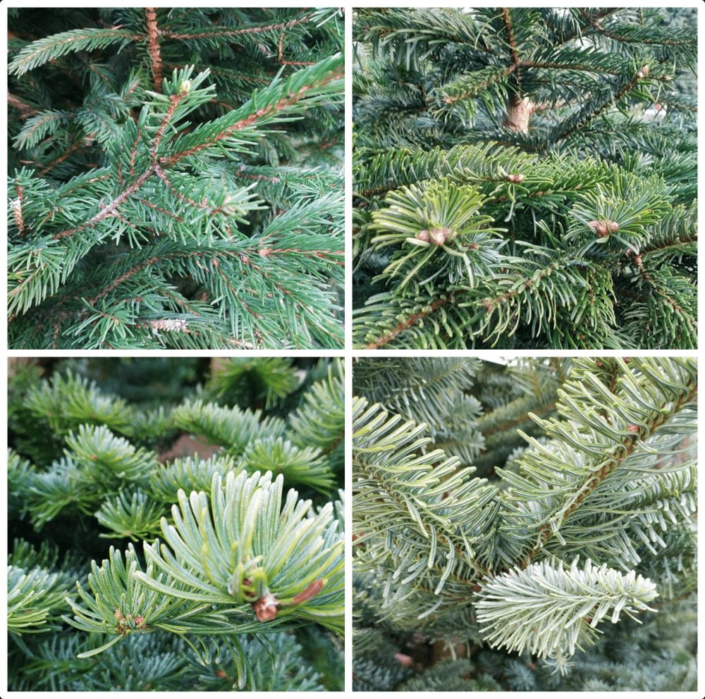 Top left: Norway Spruce, top right: Nordmann Fir, bottom left: Fraseri, bottom right: Noble Fir