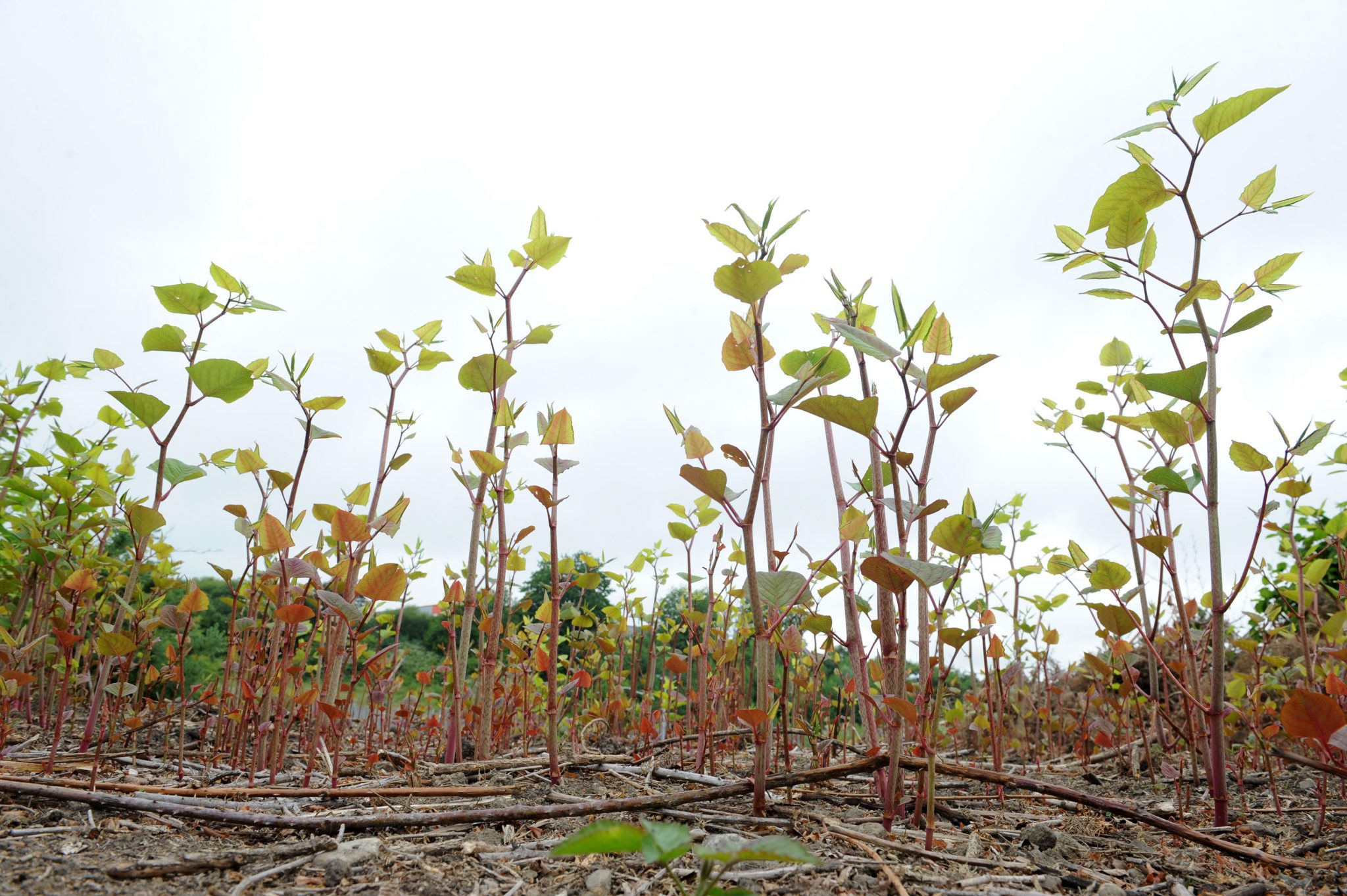 Cold snap lulls homeowners into false sense of security as emergence of Japanese knotweed is delayed