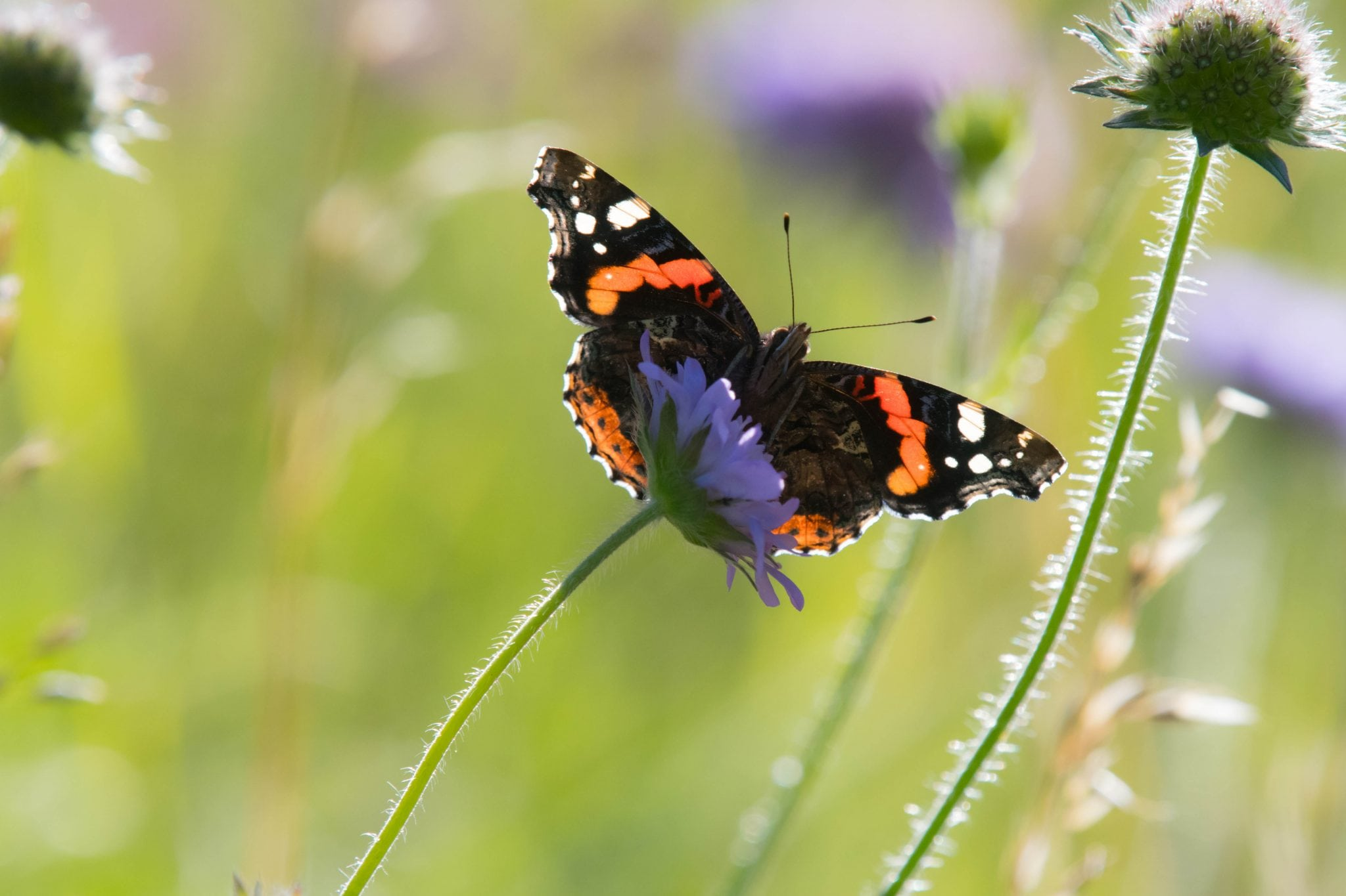 The Search for the Red Admiral